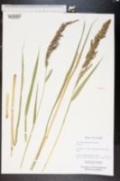 Echinochloa paludigena image