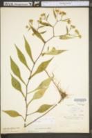 Symphyotrichum prenanthoides image