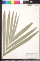 Archontophoenix cunninghamiana image