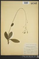 Hieracium greenei image