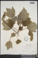 Acer rubrum var. tridens image