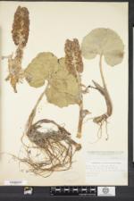 Petasites hybridus image