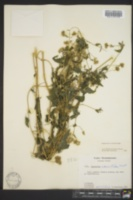 Fleischmannia incarnata image