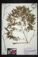 Polyscias fruticosa image