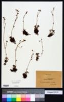Image of Saxifraga groenlandica