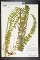 Nephrolepis cordifolia image