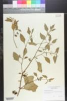 Image of Solanum auriculatum
