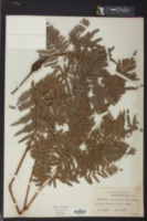 Image of Pteridium latiusculum