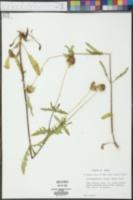 Tetragonotheca texana image
