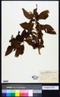 Phytolacca rigida image