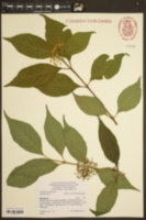 Image of Callicarpa shikokiana
