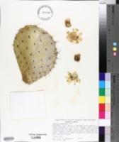 Opuntia joconostle image