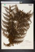 Image of Cyathea serra