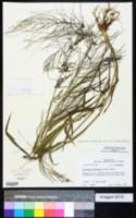 Dinebra panicea subsp. mucronata image