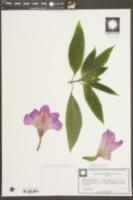 Image of Ruellia macrantha