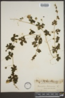 Momordica balsamina image