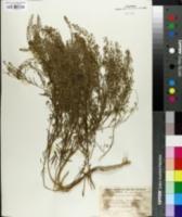 Image of Lepidium apetalum