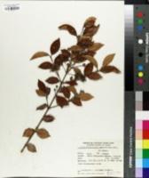 Image of Acreugenia pungens
