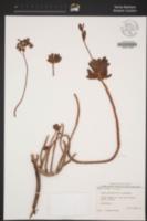 Image of Sedum pachyphyllum