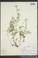Galium uniflorum image
