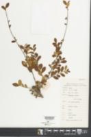 Image of Eurya chinensis