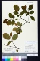 Corylus cornuta image
