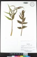 Oxypolis occidentalis image