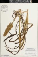 Image of Amianthium muscitoxicum
