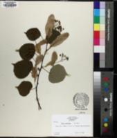 Tilia x euchlora image