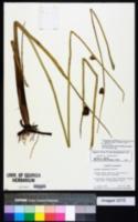 Image of Schoenoplectus deltarum