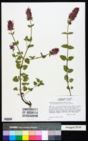 Agastache pallidiflora subsp. neomexicana image