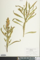 Image of Cuphea micropetala