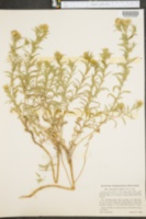 Image of Chrysopsis oregona