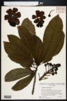 Image of Couroupita guianensis