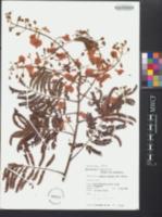 Acacia villosa image