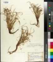 Image of Cyperus densicaespitosus