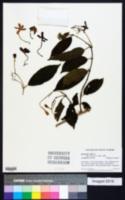 Quisqualis indica image