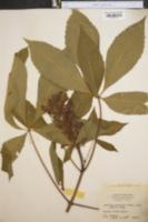 Aesculus discolor var. mollis image