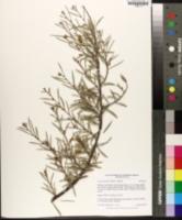 Acacia aneura image