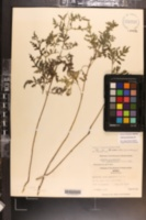 Ambrosia × intergradiens image