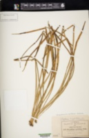 Image of Campyloneurum ensifolium