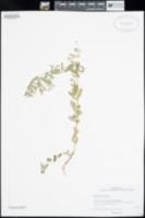 Image of Euphorbia nutans
