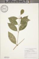 Mollinedia viridiflora image
