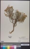 Zinnia acerosa image