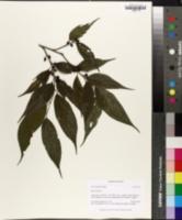 Image of Celtis gomphophylla