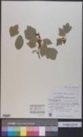 Image of Acer obtusifolium