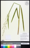 Image of Glyceria occidentalis