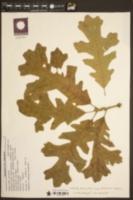 Quercus macrocarpa var. macrocarpa image