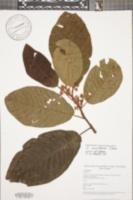 Saurauia montana image