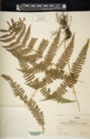 Phegopteris microstegia image
